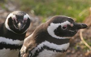 Os pinguins-de-magalhães são aves que vivem na Patagônia argentina e chilena. Lá, os turistas têm o privilégio de ver a espécie em seu habitat natural