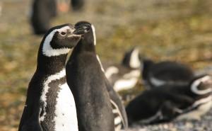 Pinguim-42